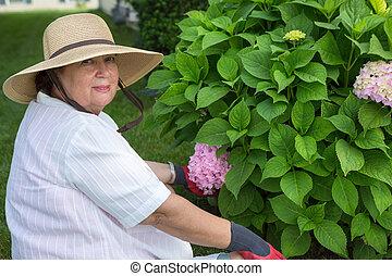 Elderly lady weeding around a hydrangea bush in her garden...