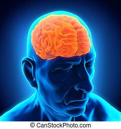 Elderly Male Brain Anatomy