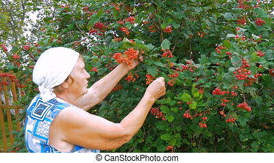 Elderly woman collects berries in the garden.