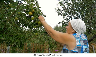 Elderly woman collects pears in the garden.