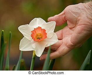 Elderly woman holding a daffodil.