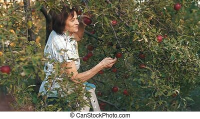Elderly Woman Pick an Apples
