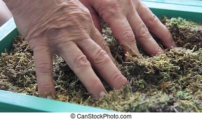 Elderly woman's hands touch dry moss to restore hand work. ...