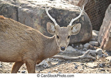 An endangered species of deer indigenous to Southeast Asia