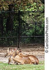 Eld's deer (Panolia eldii), also known as the thamin or brow-antlered deer, is an endangered species of deer indigenous to Southeast Asia. Animal scene.