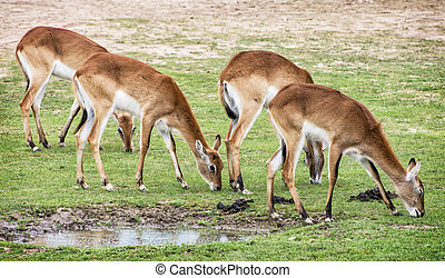 Eld's deer (Panolia eldii), also known as the thamin or brow-antlered deer, is an endangered species of deer indigenous to Southeast Asia. Animals by the water. Watering place.