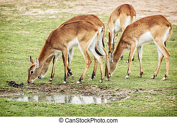 Eld's deer (Panolia eldii), also known as the thamin or brow-antlered deer, is an endangered species of deer indigenous to Southeast Asia. Group of animals.