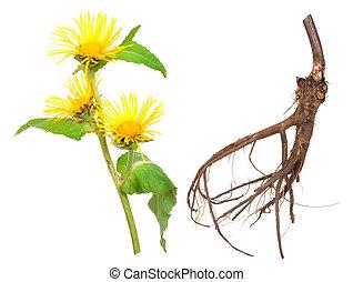 elecampane, helenium), plant., (inula, 薬効がある