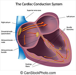 Electrical pathways of the heart - Heart cross section...