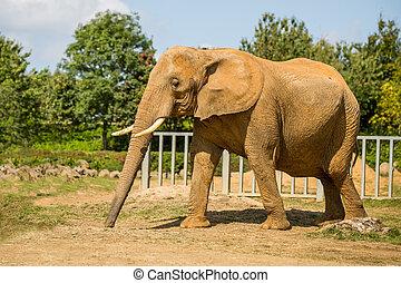 elefánt nagy fasz fityma szopás