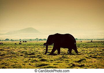 elefánt, képben látható, savanna., szafari, alatt, amboseli, kenya, afrika