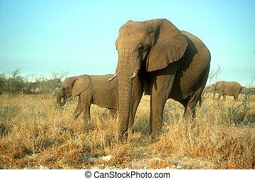 elefant, africana, afrikaan, loxodonta