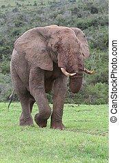 elefant, afrikaan, stier