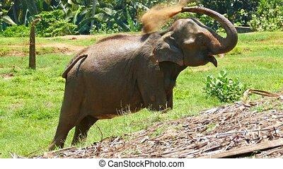 elefant, an, der, pinnawala, in, sri lanka