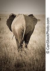 elefant, baksidaen beskådar