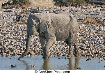 elefant, drikke vand