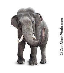 elefant, forside udsigt, hos, udklip sti, included