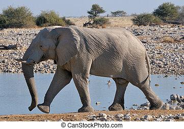 elefant, gå, 2