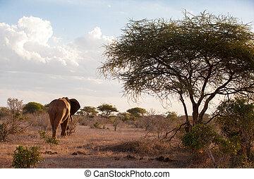 elefant, gleichfalls, gehend, der, savanne, großer baum, und, a, blauer himmel