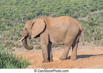 elefant, jonge, afrikaan, stier