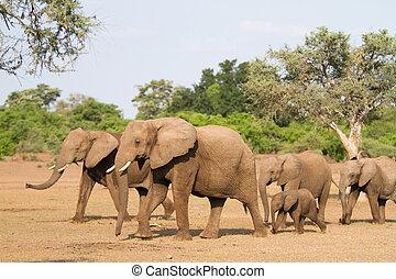 elefant, kudde