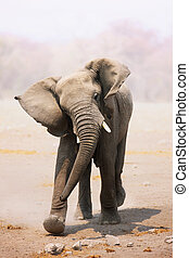 elefant, laden, stier