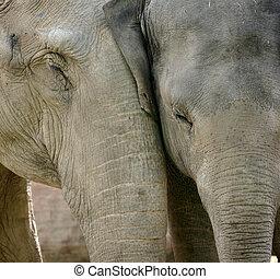 elefant, liebe