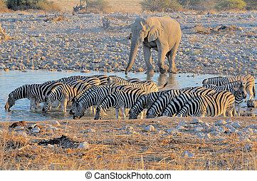 elefant, og, zebraer, hos, solnedgang