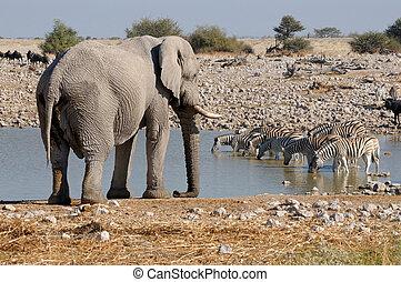 elefant, og, zebraer