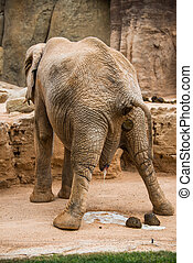 elefant, pooping.