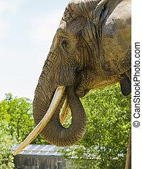 elefant, porträt