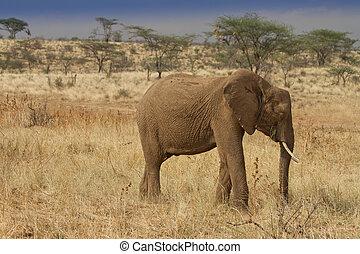 elefant, reserveren, grazen, samburu, afrikaan