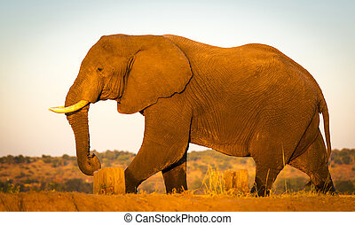 elefant, safari