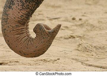 elefant, snabel