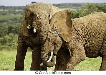 elefant, spelen