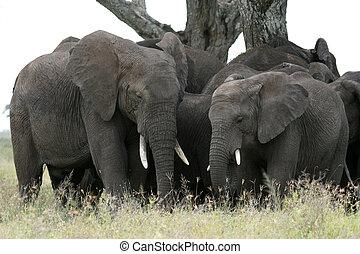 elefant, tansania, afrikas, afrikanisch