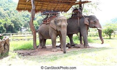 elefant, thailand