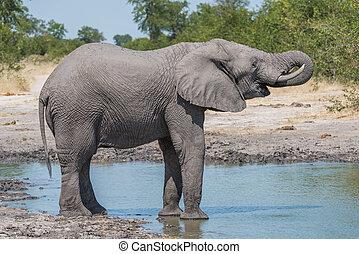 elefant, trinken, mit, stamm, an, bewässern loch