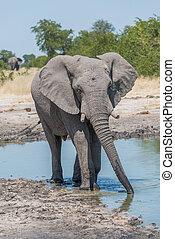 elefant, trinken, von, bewässern loch, mit, stamm