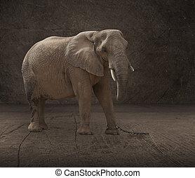 elefant, vastgemaakt, met, keten schakel