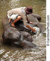 elefant, wärter