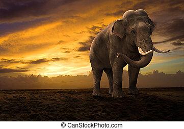 elefant, wandelende, buiten, op, ondergaande zon
