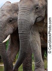 elefant, wandeling, ons, twee, voorbij