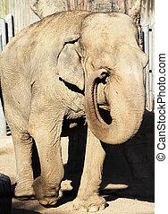 elefant, wandeling