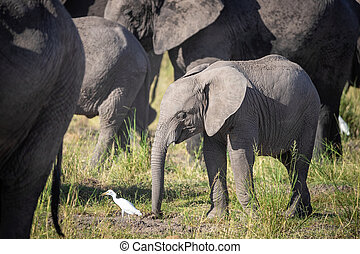 elefant, witte , kudde, baby, olifanten, amboseli, egret