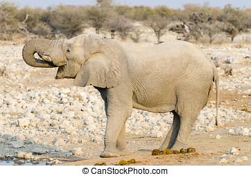 elefante africano, acqua potabile