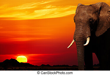 elefante africano, em, pôr do sol