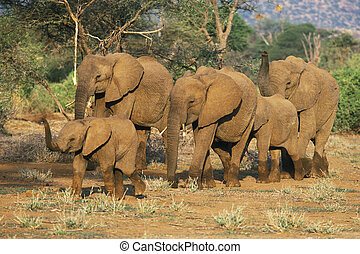 elefante africano, gregge,