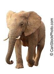 elefante africano, isolato