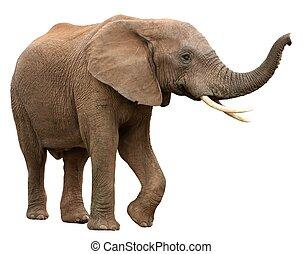 elefante africano, isolato, bianco